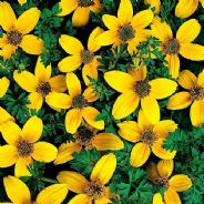 Bidens Golden Eye - 30 seeds